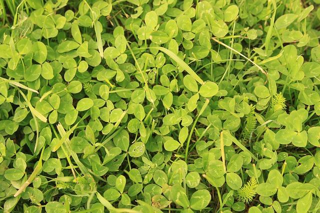 Free clover green leaves trefoil trifolium wild plants