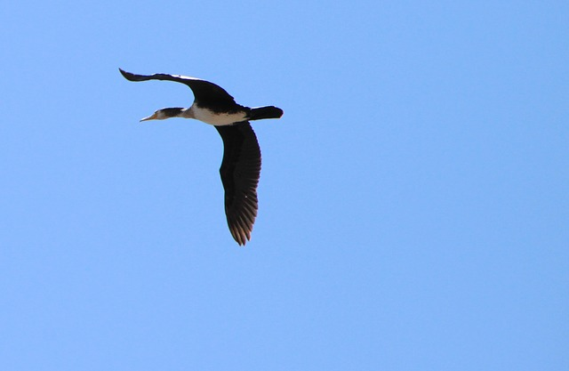 Free blue duck flight platyrhynchos sky wild birds