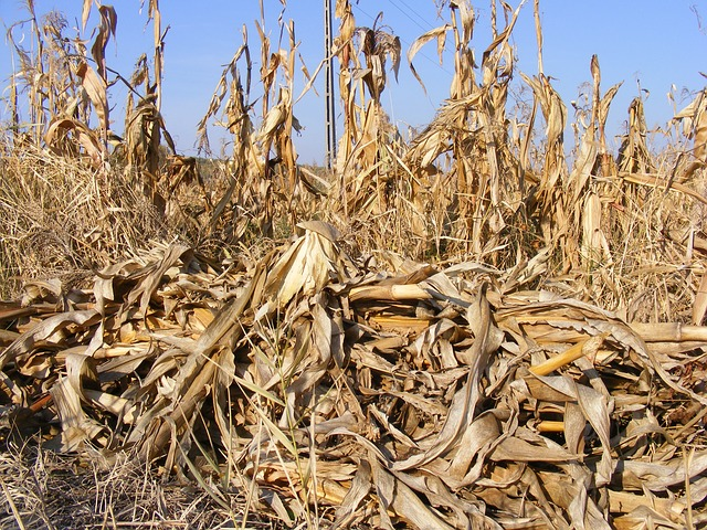 Free agriculture corn dried fall field stalks autumn
