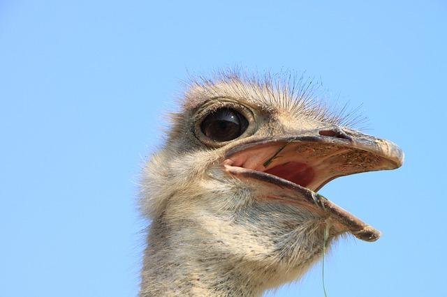 Free beak close-up eyes head ostrich warming birds