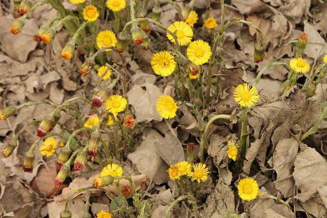Free angiosperms coltsfoot edge flowers river water