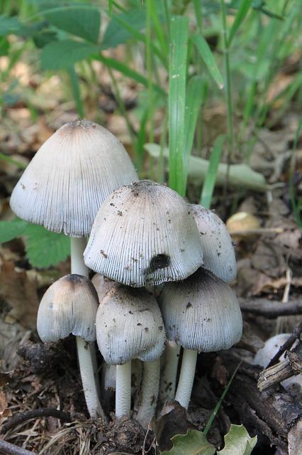 Free cap coprinus fungus mica micaceus psathyrellaceae