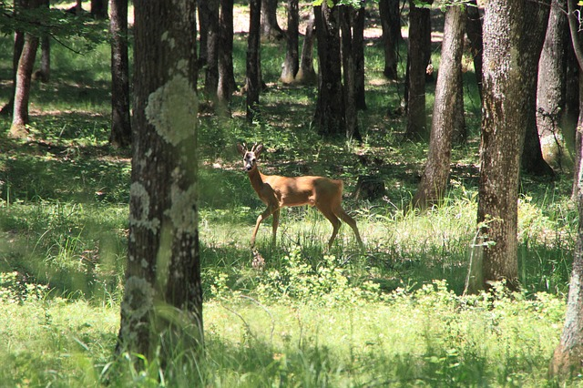 Free Photos: Deer forest trees wild young animals | Emilian Robert Vicol