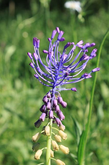 Free blue comosa flowers leopoldia muscari purple