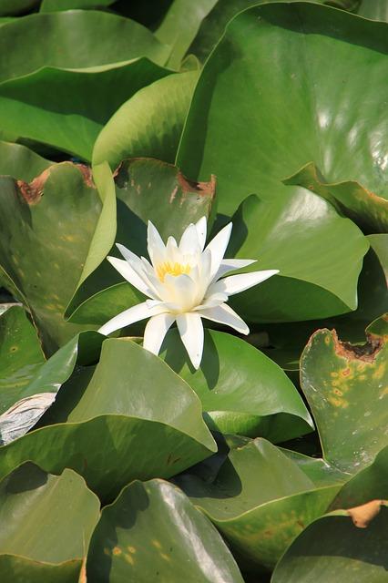 Free water lily lotus lake lily water white