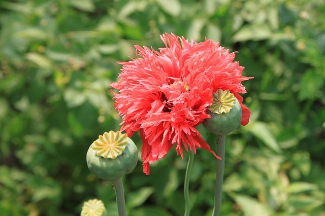 Free capsules flowers herbs opium papaver poppy pink
