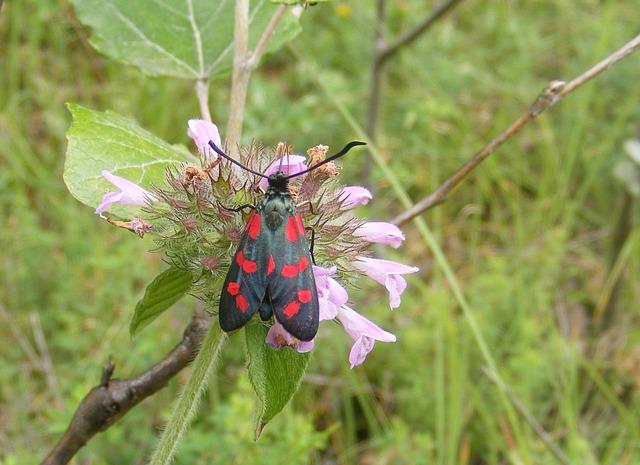 Free black burnet butterfly dark filipendulae red six