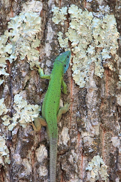 Free climbing forest green lacerta lizard trees