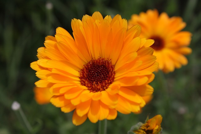 Free calendula close-up flowers gerbera herbs marigold