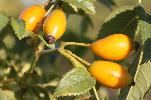 Free canina fruits healthy herbs red ripe rosa
