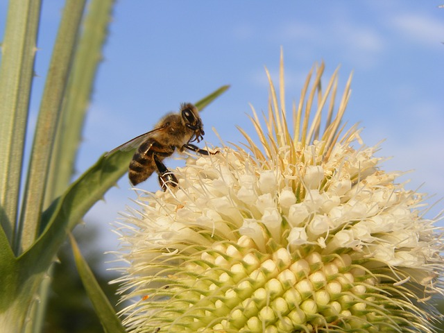 Free bee close-up cutleaf dipsacus honey laciniatus