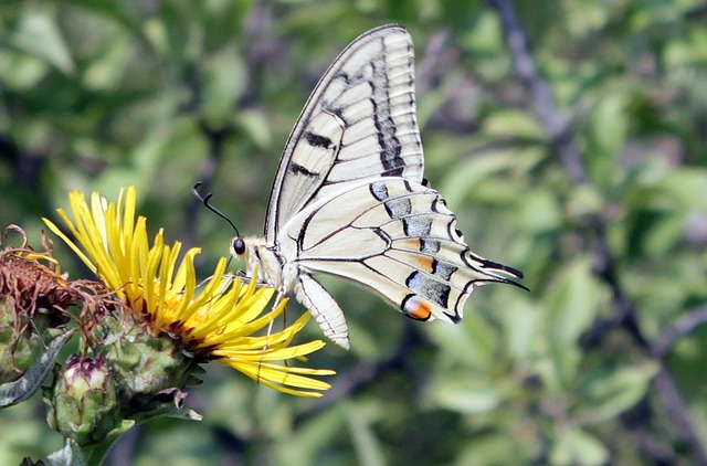 Free butterfly lepidoptera machaon papilio papilionidae
