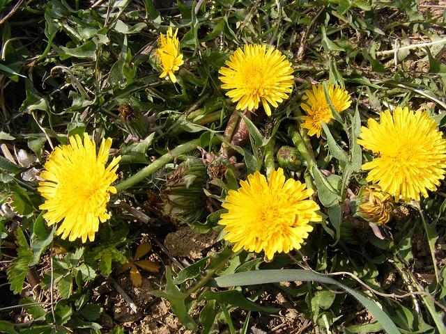 Free nature flowers gardens hawkbit taraxacum