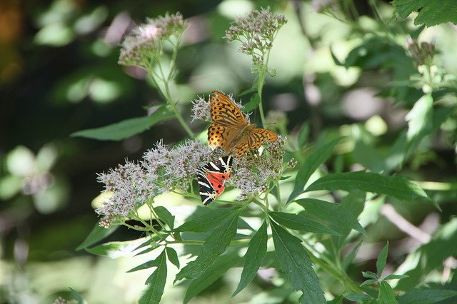 Free arctiidae butterfly cannabinum eupatorium euplagia