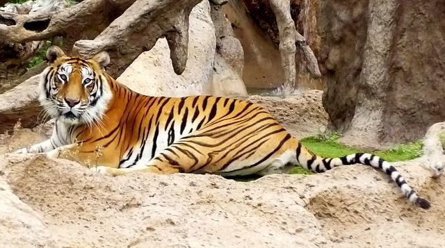 Free bengal captivity hybrid loro parque siberian