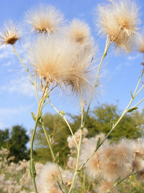 Free Photos: Dandelion fluff seeds thistle plants | Emilian Robert Vicol