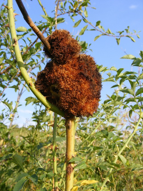 Free attacked disease fungus rose rust stem plants