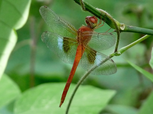 Free coral-tailed cloudwing dragonfly insect beautiful