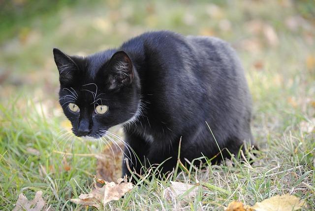 Free cat animal mousehunt film hunting