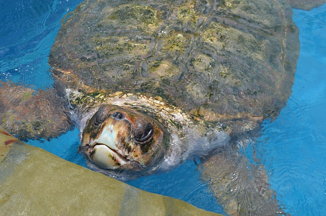 Free tamar project giant tortoise bahia brazil