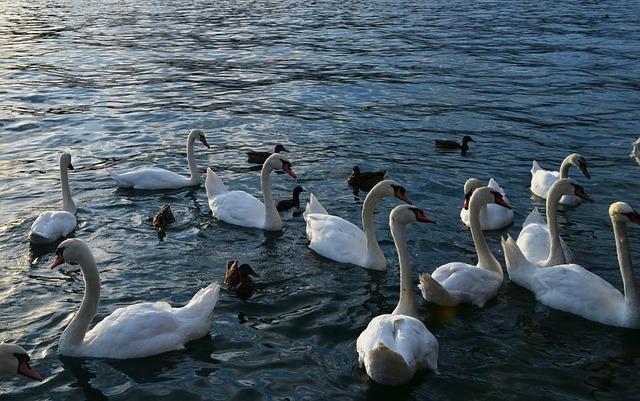 Free swan lake water nature animal