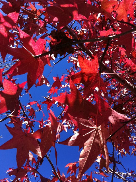 Free leaves autumn red australia nature sky blue sun