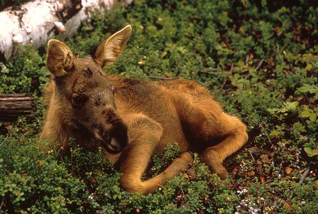 Free moose calf young animal mammal wildlife plants
