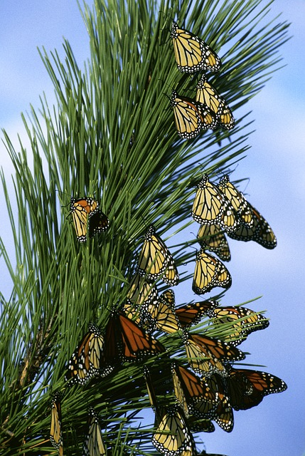 Free monarch butterflies butterfly insects limb branch