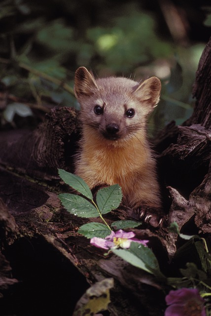 Free marten wildlife plants branches nature outside