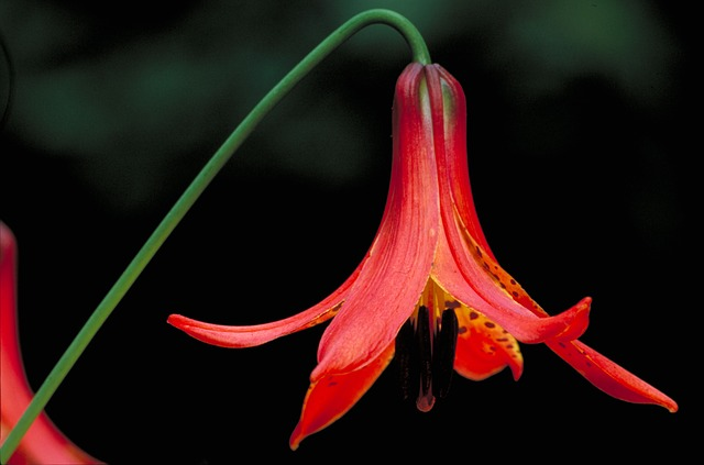Free canadian lilly flower beautiful plant stem petals