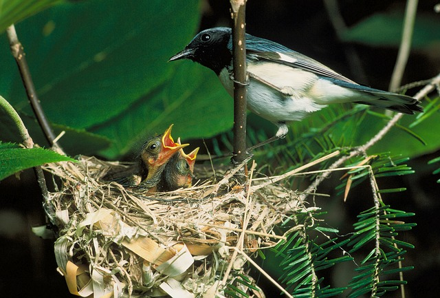 Free blue-throated blue warbler bird nest chicks macro