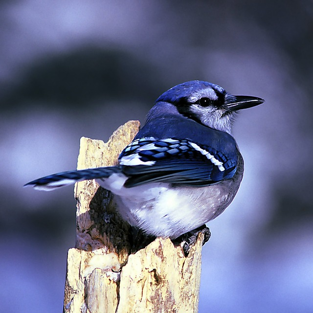 Free blue jay bird nature outside macro close-up wood