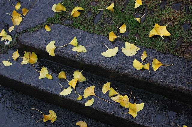 Free defoliation rain ginkgo autumn land