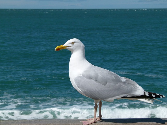 Free sea gull sea ocean water nature outside waves