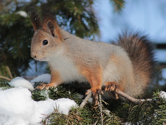 Free squirrel red cute animal wildlife nature outside