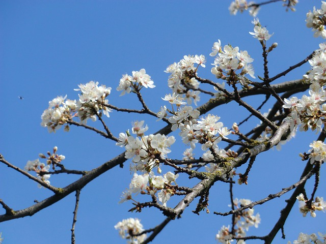 Free flower blossom white yellow plums fruit blue sky