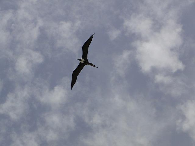 Free seagull profile sky frigate freedom frigate bird