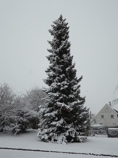 Free snowy fir high huge snow winter tree wintry