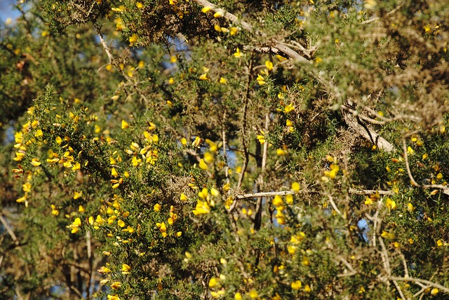 Free hawthorn flower yellow thorns thorny flora