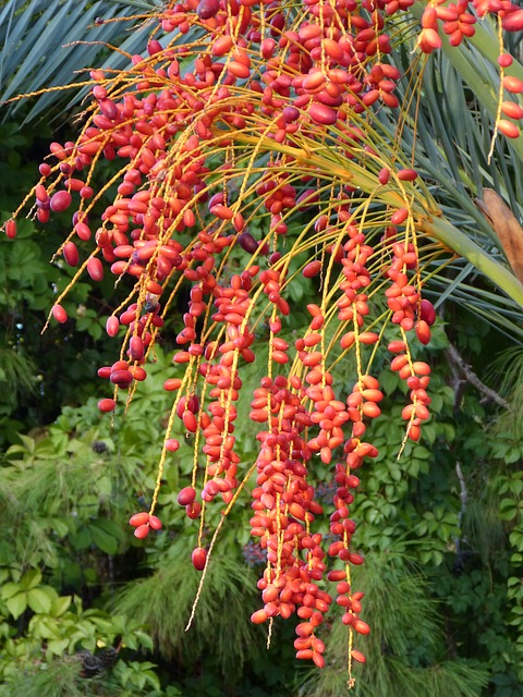 Free date palm fruit date palm fruit red berry