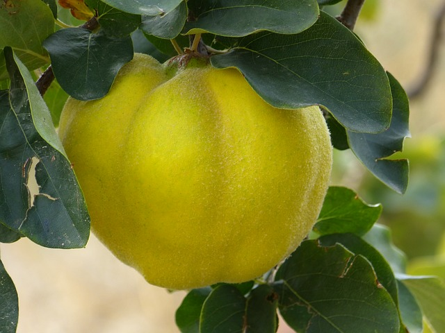 Free Photos: Quince fruit plant journal tree pome fruit | LoggaWiggler