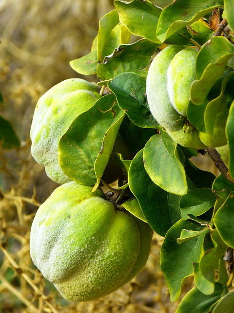 Free quince fruit plant journal tree pome fruit