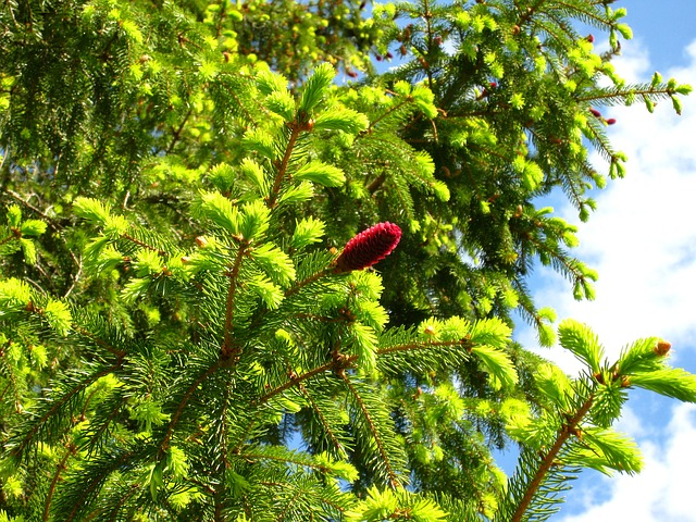 Free summer natural forest pine tree shots red green
