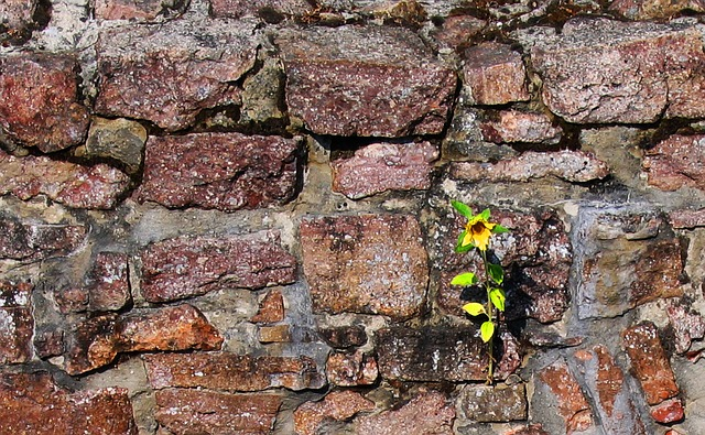 Free nature sun flower wall old stone wall ruin