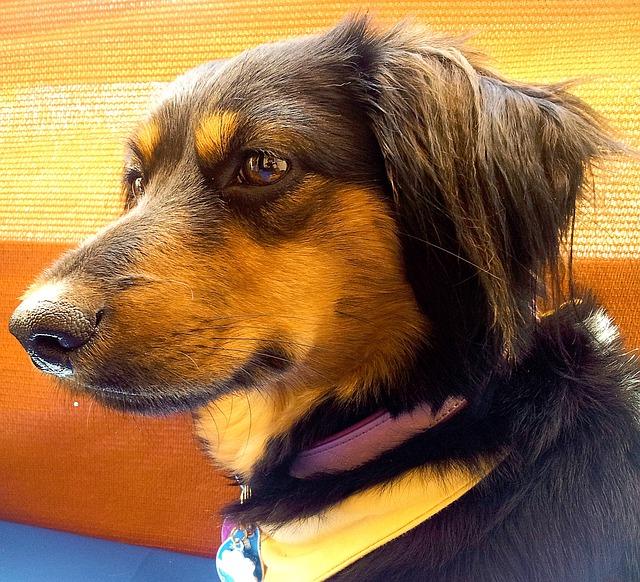 Free pet dog race pets