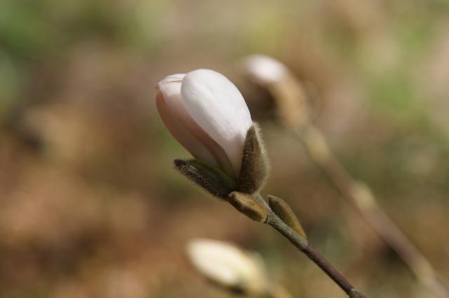 Free bud plant spring magnolia garden