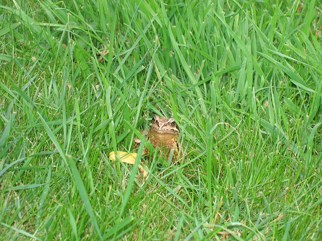Free toad frog grass green