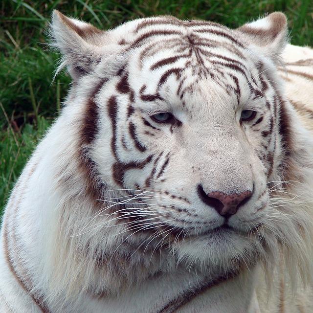 Free tiger white nature outside feline wildlife