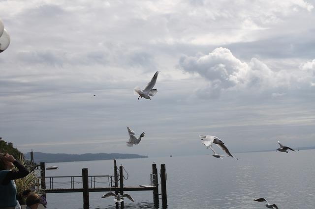 Free gulls gull bird waterfowl lake constance landscape