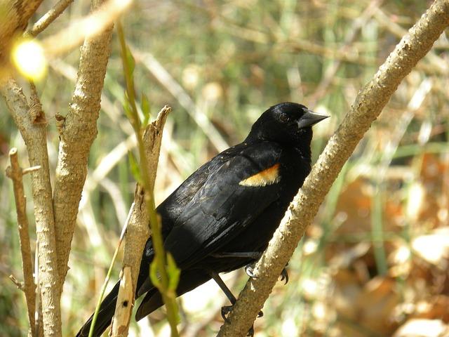 Free red-winged blackbird animal nature branch birds